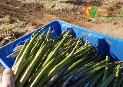 asparagus picked fresh